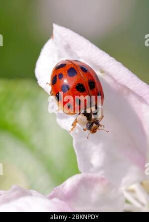 Harlequin or Asian ladybeetle (Harmonia axyridis), an asiatic species now invasive in many parts of the world - Stock Photo