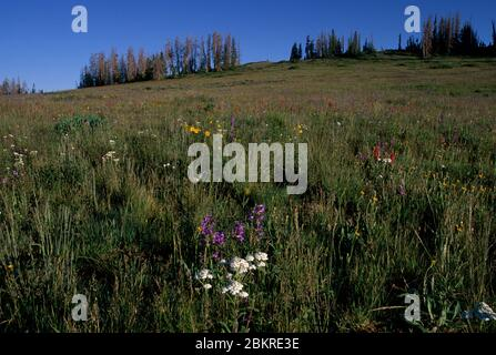 Wildflower meadow, Cedar Breaks National Monument, Cedar Breaks Scenic Byway, Utah - Stock Photo