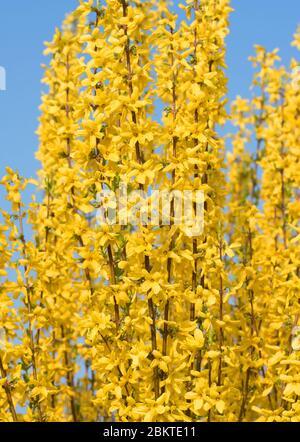 Yellow flowering forsythia in spring - Stock Photo