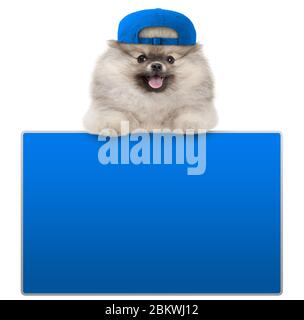 cute furry pomeranian dog with blue cap, leaning with paws on blank blue social media sign, isolated on white background - Stock Photo