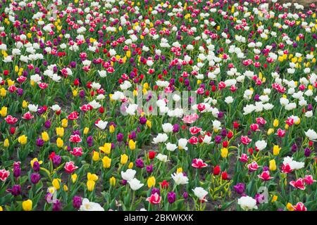 Making your life bright and colored. nature landscape in Europe. fresh spring flowers. gather the bouquet. multicolored vibrant flowers. field with tulips. tulip field with various type and color.