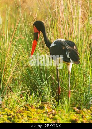 Saddle-billed stork, saddlebill, Ephippiorhynchus senegalensis, Murchison Falls national park, Uganda - Stock Photo