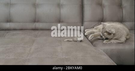 A gray British Shorthair cat lies on a sofa and plays with a toy mouse indoors. Pets, entertainment, games, health. - Stock Photo
