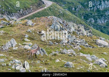 an ibex in nature between grass and stones in the swiss alps near the nufenen pass. Wild animals at 2400 meters altitude. Nufenenpass, Obergoms - Stock Photo