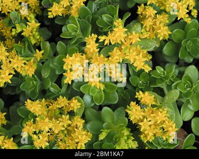 Yellow flowers of ground covering Sedum palmeri or Palmer's Stonecrop growing in the shady border of a garden in Somerset UK - Stock Photo