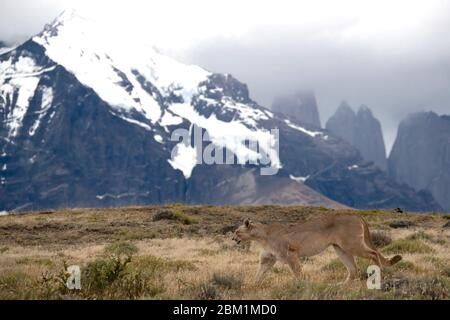 Single Puma walking through the grassland on the hill side in front of the Torres Del Paine mountain range with the three towers in the background