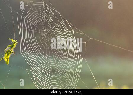 Thin transparent web on a bush on a sunny summer day. Close-up view.The spider weaved a web. - Stock Photo