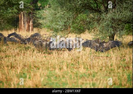 Ruppel's vultures drying their plumage after a heavy rainfall - Stock Photo