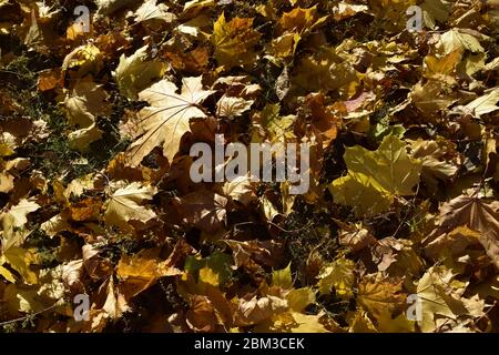 Background of colorful autumn leaves on forest ground. Fall orange and yellow autumn leaves on ground for background or backdrop. Dry brown and lush y - Stock Photo