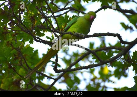 Ring-necked parakeet has long tail green plumage darker on the wings and red bill Escaped from captivity alien to UK seen by the Thames in west London - Stock Photo