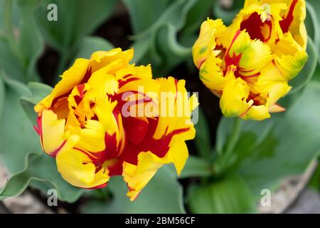 Close up view of red and yellow parrot tulip Texas Flame view from above growing in the garden in spring April 2020 Wales UK. KATHY DEWITT - Stock Photo