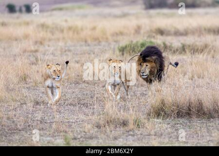 Two adult lionesses being followed by a dominant male lion. Grasslands of the Masai Mara, Kenya. Focus on lionesses.. - Stock Photo