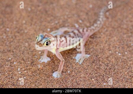 Web-footed Gecko (Palmatogecko rangei). Nocturnal animals that live mostly nestled in deep burrows - Stock Photo