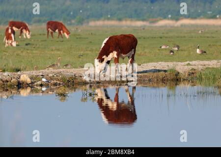 Cattle grazing at RSPB St Aidan's Nature Park in Swillington,Leeds - Stock Photo