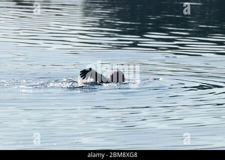 An open water swimmer at RSPB St Aidan's in Swillington,Leeds,UK - Stock Photo