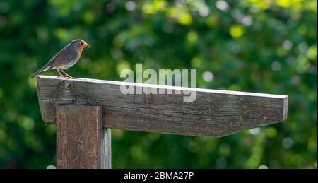 Robin redbreast Erithacus rubecula perched on a wooden signpost - Stock Photo