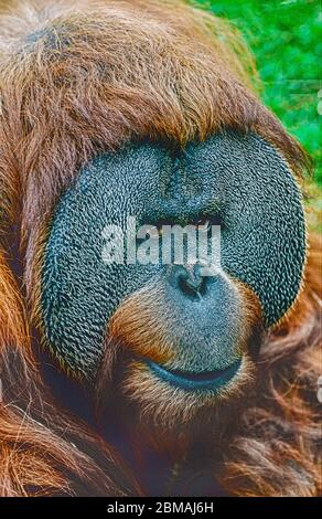 Male Sumatran Orang-utan,  (Pongo pygmaeus abelii.)  Critically Endangered species. - Stock Photo