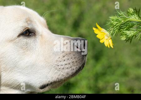 Labrador dog smelling yellow flower on blured green nature background. Funny puppy face - Stock Photo