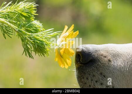 Close-up of dog sniffing flower, with dog nose in focus on green nature summer blur background. - Stock Photo