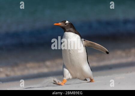 Gentoo Penguin; Pygoscelis papua; Walking; Falkland;