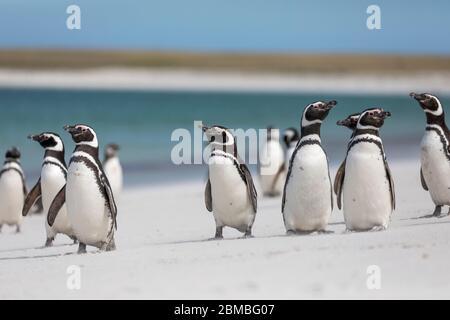 Magellanic Penguin; Spheniscus magellanicus; Group; Bleaker Island; Falklands