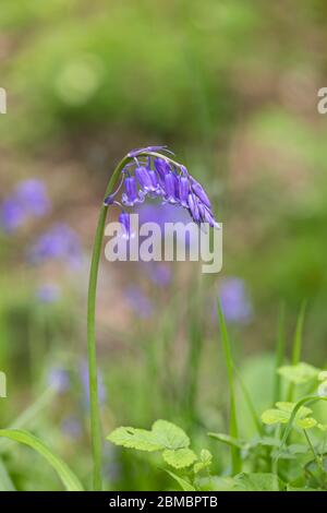Close up of a single isolated bluebell - Hyacinthoides non scripta flowering in an English wood, England, UK