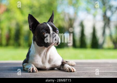 Boston terrier dog on brown terrace  - shallow depth of field - Stock Photo