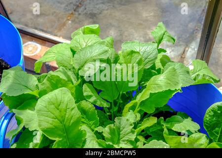 Top down view of homegrown radish plants (Raphanus sativus) growing in a blue compost filled tub in a domestic green house