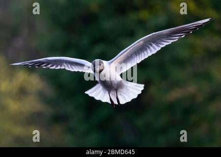 Black-headed gull (Chroicocephalus ridibundus) in summer plumage in flight, Cheshire, England, UK - Stock Photo