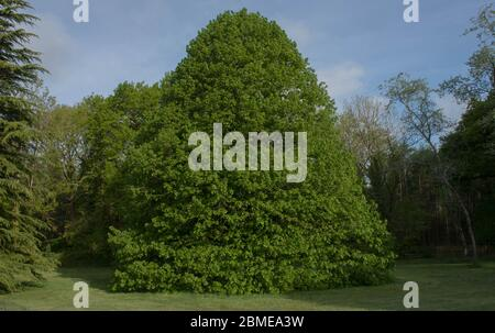 Spring Foliage of the Deciduous Large Leaved Lime Tree (Tilia platyphyllos) Growing in a Garden in Rural Devon, England, UK - Stock Photo