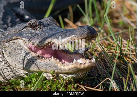American alligator (Alligator mississippiensis) on ground in Everglades National Park, Florida, USA