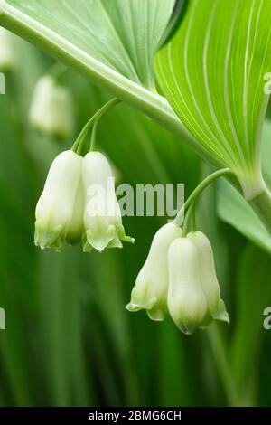 Polygonatum × hybridum. Solomon's seal plant displaying flowers in spring. UK. AGM - Stock Photo