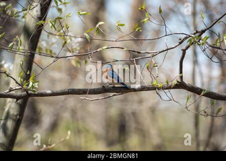 Eastern Bluebird Perched in Springtime - Stock Photo
