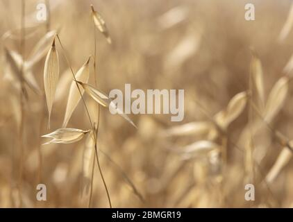 A field of dry oats on a sunny day. A close up photograph with a shallow depth of field and copy space. - Stock Photo