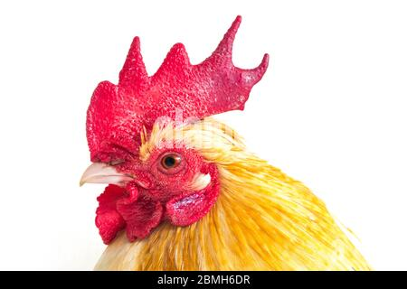 Rooster bantam chicken or Ayam kate is any small variety of fowl, especially chickens isolated on white background - Stock Photo
