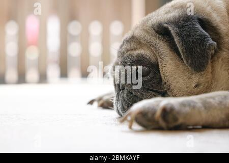 Pug dog lying on floor. Side view. Closeup. Bored or tired. Stay home concept. - Stock Photo