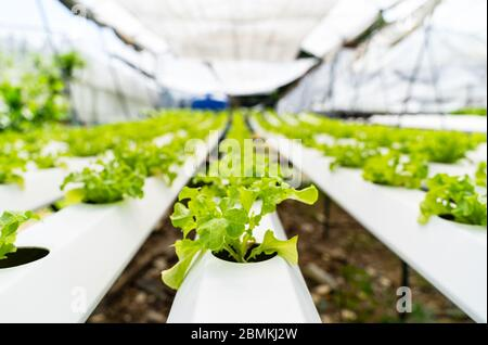 Hydroponics vegetables Green oak lettuce growing in plastic pipes at Smart farms with hydroponics systems are modern farming for healthy and quality i - Stock Photo