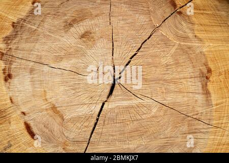 Stump of a big old tree felled - section of the trunk with annual rings