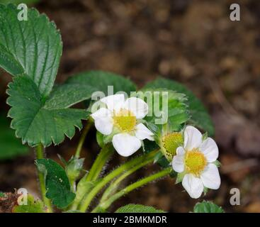 Garden Strawberry  - Fragaria  X ananassa Two flowers