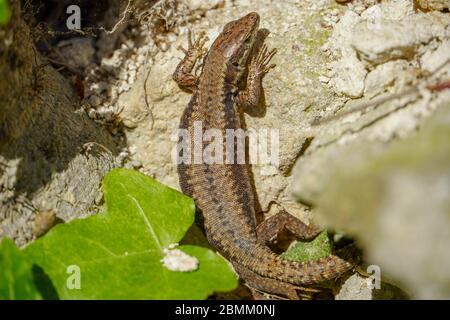 Cute lizard taking sun on rock stone isolated - Stock Photo