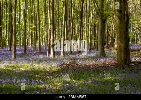 A beautiful carpet of vibrant bluebells with light casting shadows and light in an English woodland.