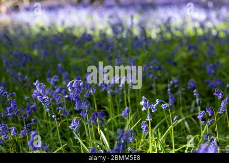Close up of bluebells in a woodland in West Sussex.