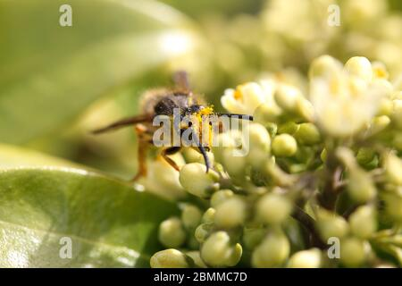 common wasp with pollen - Stock Photo