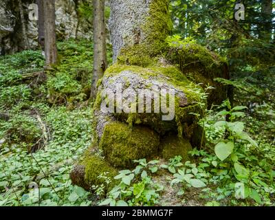 Unusual tree roor trunk in preserved forest resort Golubinjak near Lokve Croatia Europe - Stock Photo