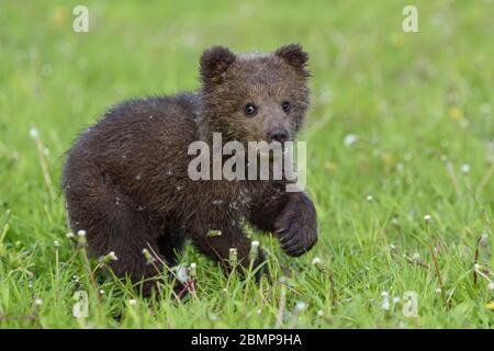 Bear cub in spring grass. Dangerous small animal in nature meadow habitat. Wildlife scene