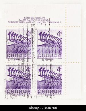 SEATTLE WASHINGTON - May 10, 2020:  Caribou, Rangifer tarandus,  on Canadian stamp commemorating National Wild Life Week in 1956. Scott # 360 - Stock Photo