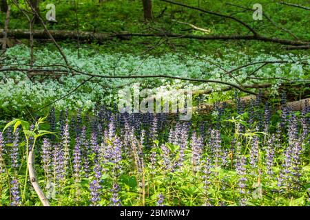 Klausen-Leopoldsdorf: Kriechender Günsel (Ajuga reptans, commonly known as bugle, blue bugle, bugleherb, bugleweed, carpetweed, carpet bugleweed) and - Stock Photo