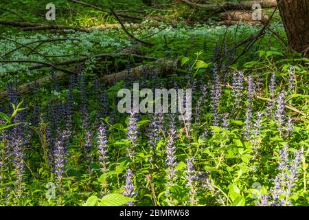 Klausen-Leopoldsdorf: blooming Kriechender Günsel (Ajuga reptans, commonly known as bugle, blue bugle, bugleherb, bugleweed, carpetweed, carpet buglew - Stock Photo