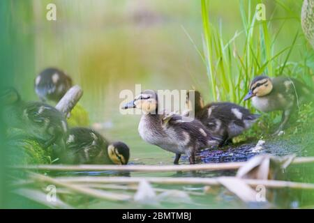 little cute ducklings in their native habitat - Stock Photo