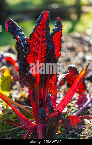 Vibrant red Swiss chard leaf outside on sunny winters day - Stock Photo